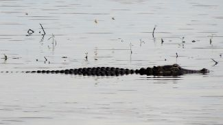 Böser Alligator